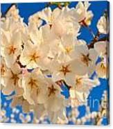 Cherry Blossom Macro Canvas Print