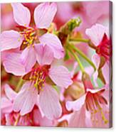 Cherry Blossom Special II Canvas Print