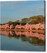 Cherry Blossoms 2013 - 001 Canvas Print