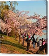 Cherry Blossoms 2013 - 007 Canvas Print