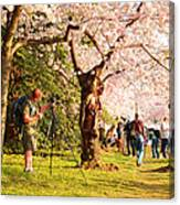 Cherry Blossoms 2013 - 009 Canvas Print