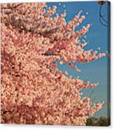 Cherry Blossoms 2013 - 013 Canvas Print