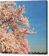 Cherry Blossoms 2013 - 014 Canvas Print