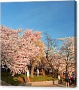Cherry Blossoms 2013 - 015 Canvas Print