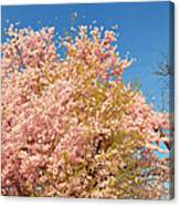 Cherry Blossoms 2013 - 016 Canvas Print