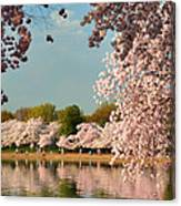 Cherry Blossoms 2013 - 023 Canvas Print