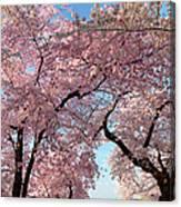 Cherry Blossoms 2013 - 025 Canvas Print