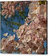 Cherry Blossoms 2013 - 035 Canvas Print