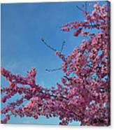 Cherry Blossoms 2013 - 037 Canvas Print