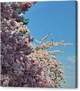 Cherry Blossoms 2013 - 046 Canvas Print
