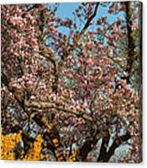 Cherry Blossoms 2013 - 051 Canvas Print
