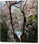 Cherry Blossoms 2013 - 056 Canvas Print