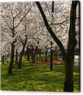 Cherry Blossoms 2013 - 057 Canvas Print