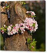 Cherry Blossoms 2013 - 064 Canvas Print