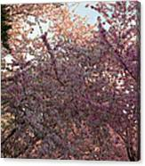 Cherry Blossoms 2013 - 065 Canvas Print