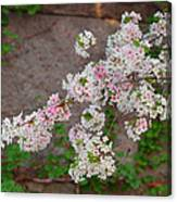 Cherry Blossoms 2013 - 067 Canvas Print