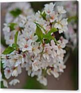 Cherry Blossoms 2013 - 068 Canvas Print