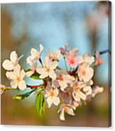 Cherry Blossoms 2013 - 073 Canvas Print