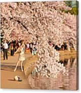 Cherry Blossoms 2013 - 076 Canvas Print