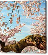 Cherry Blossoms 2013 - 089 Canvas Print