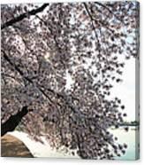 Cherry Blossoms 2013 - 092 Canvas Print