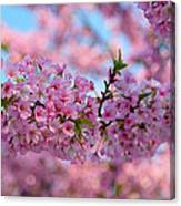 Cherry Blossoms 2013 - 095 Canvas Print