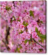 Cherry Blossoms 2013 - 096 Canvas Print