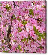Cherry Blossoms 2013 - 097 Canvas Print