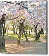 Cherry Blossoms 2013 - 099 Canvas Print