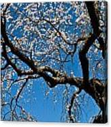 Cherry Blossoms And Sky Canvas Print