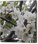 Cherry Blossoms Branching Out Canvas Print