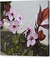 Cherry Blossoms On A Branch Canvas Print