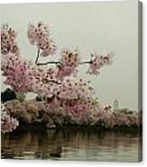 Cherry Blossoms On A Foggy Morning Canvas Print