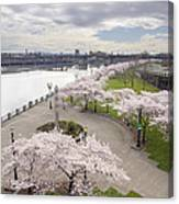 Cherry Blossoms Trees Along Willamette River Waterfront Canvas Print