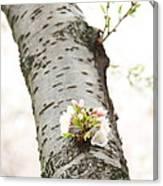 Cherry Blossoms - Washington Dc - 0113106 Canvas Print