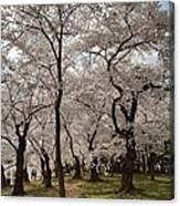 Cherry Blossoms - Washington Dc - 011378 Canvas Print
