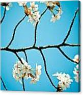 Cherry Blossoms With Sky Canvas Print