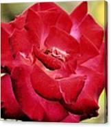 Cherry Cream Rose Canvas Print