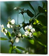 Cherry In Bloom - Featured 3 Canvas Print