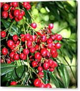 Cherry Laurel  Canvas Print