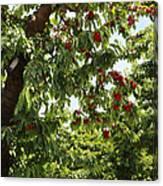 Cherry Orchard  Canvas Print