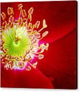 Cherry Pie Rose 01a Canvas Print