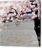 Cherry Tree And The Potomac Canvas Print