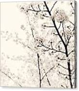 Cherry Tree Blossom Artistic Closeup Sepia Toned Canvas Print