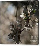 Cherry Tree Blossom Macro Canvas Print