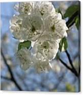 Cherry Tree Petals Canvas Print