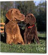 Chesapeake Bay Retrievers Canvas Print