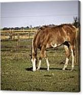 Chestnut In The Pasture Canvas Print