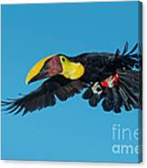 Chestnut-mandibled Toucan Flying Canvas Print