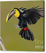 Chestnut-mandibled Toucan Landing Canvas Print